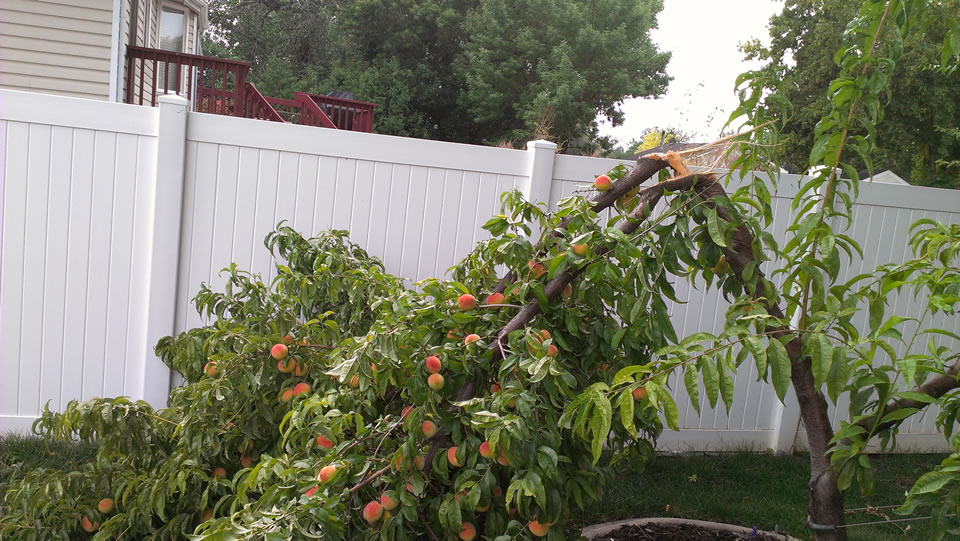 Why Prune Fruit Trees Every Year