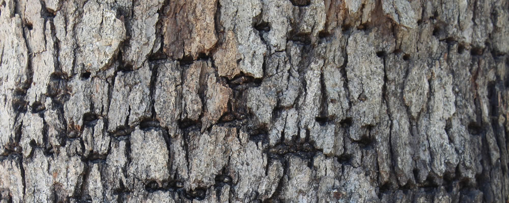 Tree Borer Insects